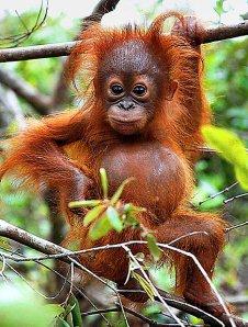 Orangutan2_468x619