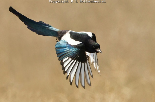 Black-billed-magpie2